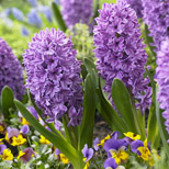 fragrant spring bulbs